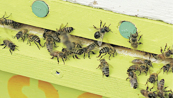 Honeybees entered a hive through a pollen trap designed to collect pollen the bees are carrying. Scientists then analyze the pollen to see which plants the bees are using and assess the nutritional value of the pollen on Aug. 6 near Jamestown, North Dakota.   Dan Gunderson/MPR News