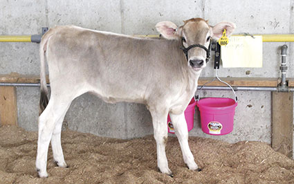 This calf is ready for the fair as preparation for the ag events continued through Monday.
