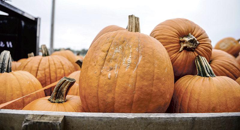 Pumpkins on display.